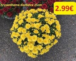 CHRYSANTHEME diametre 25cm