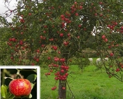 ARBRES FRUITIERS POMMIERS