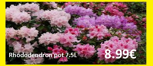 ARRIVAGE RHODODENDRONS et PIERRIS
